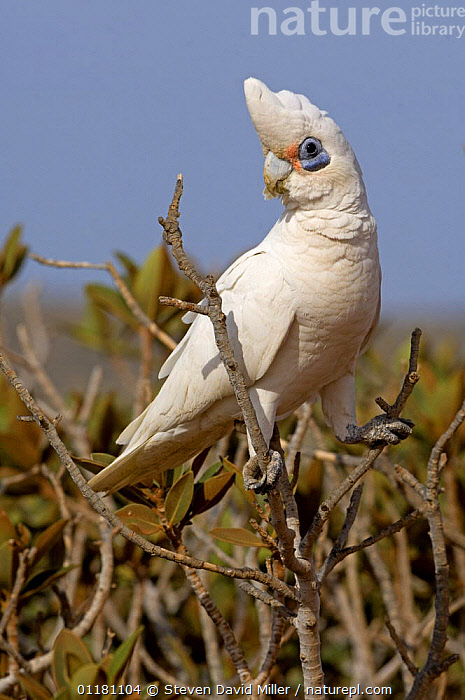 Little Corella {Cacatua sanquinea gymnopis} adult in tree, Woodland, Summer, Cape Range National Park, Western Australia  ,  AUSTRALIA,BIRDS,COCKATOOS,PARROTS,Perching,PORTRAITS,VERTEBRATES,VERTICAL  ,  Steven David Miller