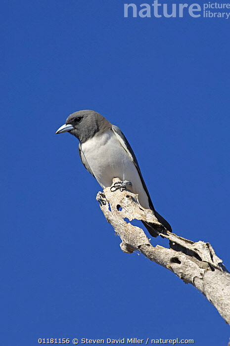 White-breasted Woodswallow {Artamus leucorynchus} on dead tree branch looking out for insects, Winter, Lake Argyle, Western Australia  ,  AUSTRALIA,BIRDS,VERTEBRATES,VERTICAL,WOOD SWALLOWS  ,  Steven David Miller