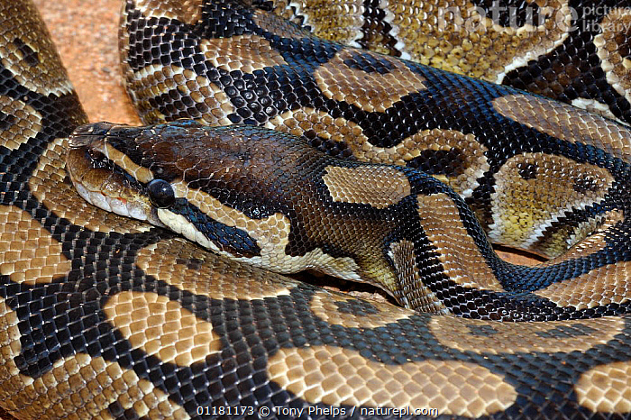 Royal / ball python {Python regius} captive. from central and west Africa.  ,  AFRICA,CONSTRICTORS,PATTERNS,PYTHONS,REPTILES,SKIN,SNAKES,VERTEBRATES  ,  Tony Phelps
