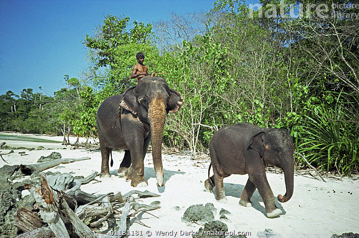 Working female Indian elephant {Elephas maximus} walking along beach with her young, Havelock Is, Andaman Is, India  ,  ASIA,BABIES,BEACHES,BEHAVIOUR,COASTS,ELEPHANTS,ENDANGERED,FAMILIES,INDIA,LAND OF THE TIGER,MAMMALS,PEOPLE,PROBOSCIDS,RIDING,VERTEBRATES  ,  Wendy Darke