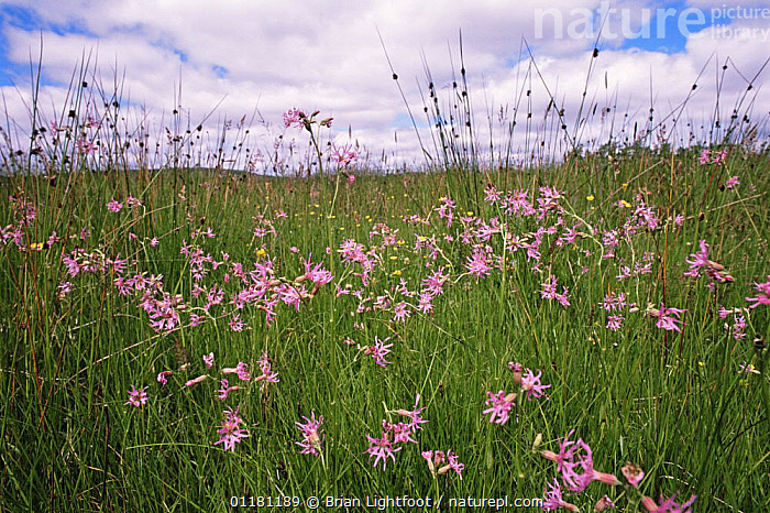 Ragged robin {Silene flos-cuculi} flowering in meadow, Aviemore, Scotland, UK  ,  CARYOPHYLLACEAE, DICOTYLEDONS, EUROPE, FLOWERS, LANDSCAPES, MEADOWLAND, PLANTS, SCOTLAND, UK, VERTICAL,Grassland,United Kingdom  ,  Brian Lightfoot