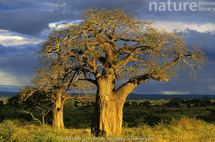 Tarangire NP, Tanzania at dusk with Baobab trees.  ,  AFRICA,EAST AFRICA,LANDSCAPES,RESERVE,TREES,Plants,EAST-AFRICA  ,  Francois Savigny