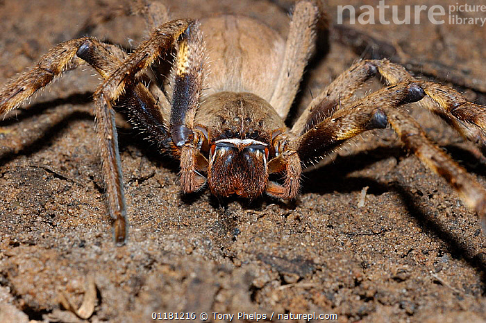 Rain spider {Palystes} Little Karoo, South Africa  ,  AFRICAN HUNTSMAN SPIDER, ARACHNIDS, close ups, HUNTSMAN SPIDERS, INVERTEBRATES, mouthparts, PORTRAITS, southern africa  ,  Tony Phelps