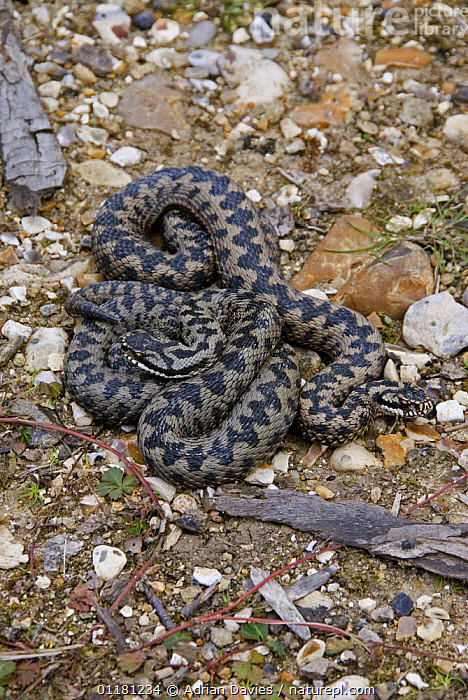 Adders {Vipera berus} male and a female, spring, England.  ,  COURTSHIP,EUROPE,MALE FEMALE PAIR,REPTILES,SNAKES,UK,VERTEBRATES,VERTICAL,VIPERS,United Kingdom,British, Adders  ,  Adrian Davies