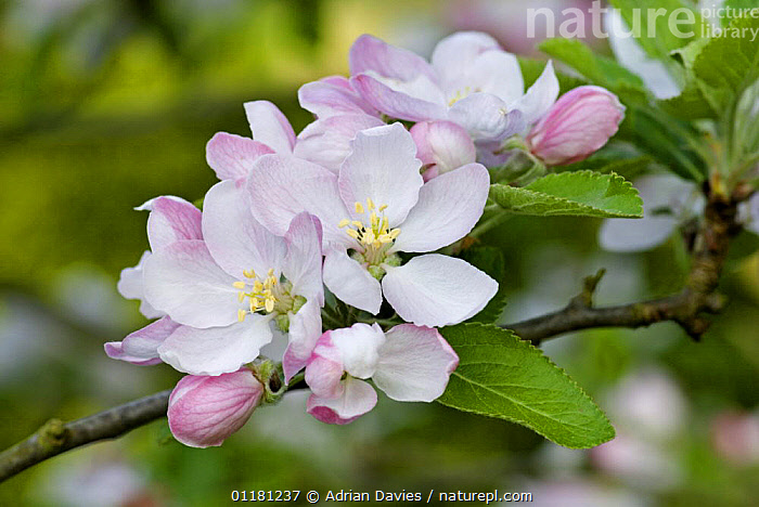 Cox Apple tree {Malus domestica} blossom in spring, UK  ,  blossom, DICOTYLEDONS, EUROPE, FLOWERS, PLANTS, ROSACEAE, UK,United Kingdom  ,  Adrian Davies