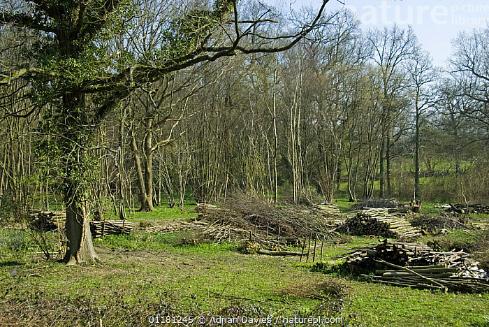 Coppiced hazel wood {Corylus avellana} with standard tree, Sussex, England, 2007  ,  BETULACEAE,COPPICE,DICOTYLEDONS,EUROPE,LANDSCAPES,MANAGEMENT,PLANTS,TREES,UK,WOODLANDS,United Kingdom,British  ,  Adrian Davies