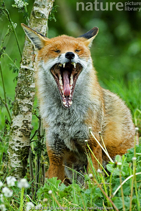 Red fox {Vulpes vulpes} yawning, captive  ,  CANIDS,CARNIVORES,FOXES,MAMMALS,TEETH,VERTEBRATES,VERTICAL,YAWNING,Dogs  ,  Adrian Davies