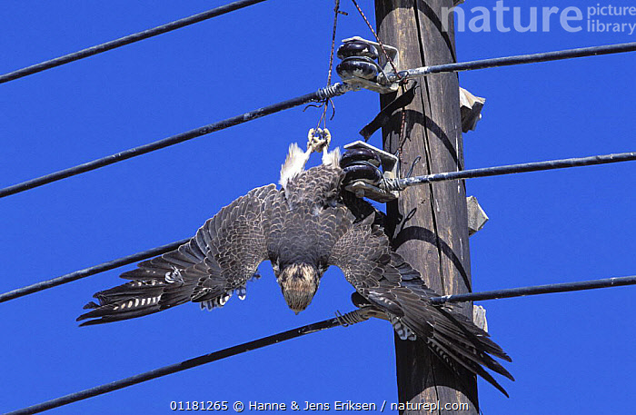 Lanner falcon {Falco biarmicus} dead, with jesses caught in electrical wires, Sohar, Oman, ARABIA,BIRDS,BIRDS OF PREY,DEATH,ENERGY,FALCONRY,FALCONS,MIDDLE EAST,OMAN,URBAN,VERTEBRATES,Catalogue1, Hanne & Jens Eriksen