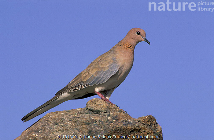 Laughing dove {Spilopelia senegalensis} perched on rock, Muscat, Oman  ,  ARABIA, BIRDS, COLUMBIFORMES, DOVES, middle east, VERTEBRATES  ,  Hanne & Jens Eriksen