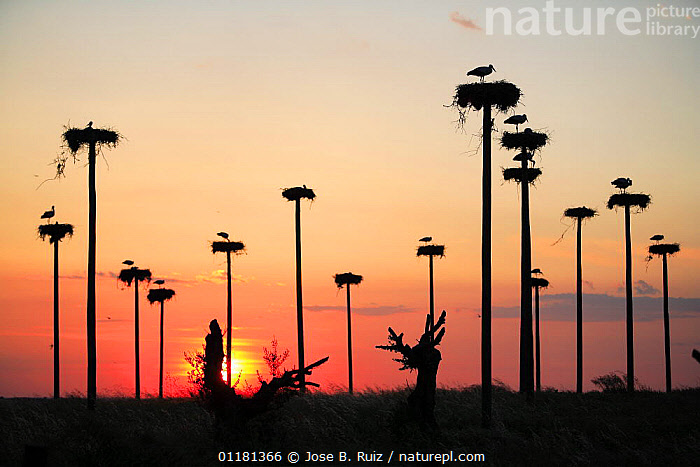 Silhouette of White storks {ciconia ciconia} nesting on purpose-built poles, Malpartida de Caceres, Extremadura, Spain. Note - relocated after construction of hotel, BIRDS,CONSERVATION,EUROPE,NESTS,SILHOUETTES,SPAIN,STORKS,SUNSET,VERTEBRATES, Jose B. Ruiz
