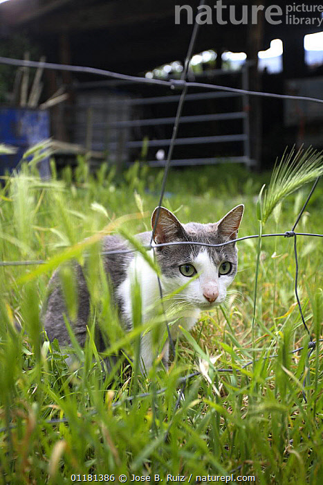 Domestic cat {Felis catus} looking through wire fence, Picos de Europa, Asturias, Spain  ,  CATS,EUROPE,FARMLAND,PETS,PORTRAITS,SPAIN,VERTEBRATES,VERTICAL  ,  Jose B. Ruiz