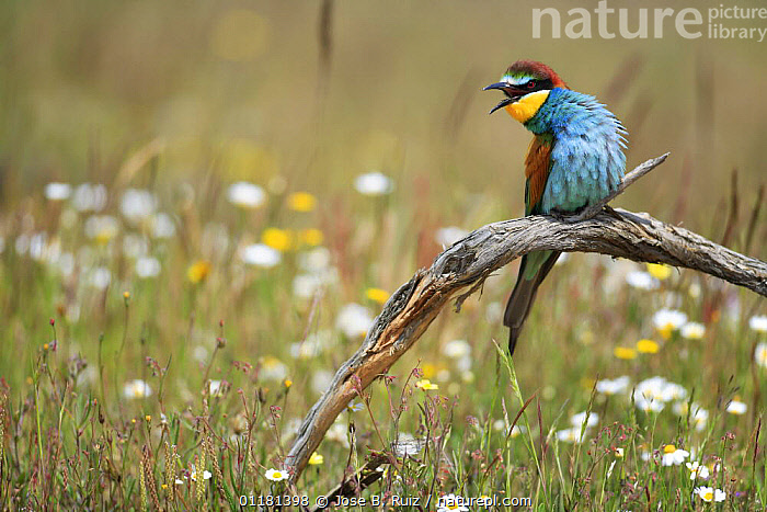 European bee eater {Merops apiaster} perching on branch and calling, Los Barruecos NP, Malpartida de Caceres, Extremadura, Spain  ,  BEE EATERS,BEHAVIOUR,BIRDS,EUROPE,FLOWERS,SPAIN,VERTEBRATES,VOCALISATION  ,  Jose B. Ruiz