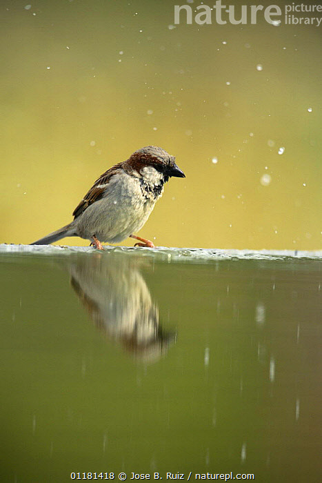 Common sparrow {Passer domesticus} male perching on edge of bird bath with water droplets in air after bathing, Moralet, Alicante, Spain, BIRDS,EUROPE,REFLECTIONS,SPAIN,SPARROWS,VERTEBRATES,VERTICAL,WATER, Jose B. Ruiz