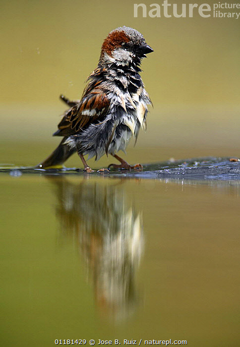 Common sparrow {Passer domesticus} male wet after bathing, Moralet, Alicante, Spain  ,  BIRDS,EUROPE,FEATHERS,REFLECTIONS,SPAIN,SPARROWS,VERTEBRATES,VERTICAL,WATER  ,  Jose B. Ruiz