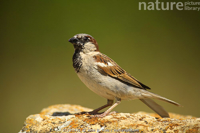 Male Common sparrow {Passer domesticus} Moralet, Alicante, Spain  ,  BIRDS,EUROPE,SPAIN,SPARROWS,VERTEBRATES  ,  Jose B. Ruiz