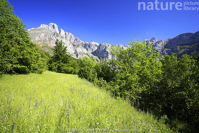 Meadow in mountains, Picos de Europa, Asturias, Spain  ,  EUROPE,GRASSLAND,LANDSCAPES,MOUNTAINS,SPAIN,SUMMER  ,  Jose B. Ruiz