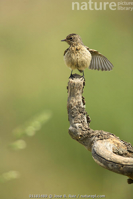 Stonechat {Saxicola torquatus} female perching on branch, with wing outstretched, Moralet, Alicante, Spain  ,  BEHAVIOUR, BIRDS, chats, EUROPE, SPAIN, VERTEBRATES, VERTICAL, WINGS  ,  Jose B. Ruiz