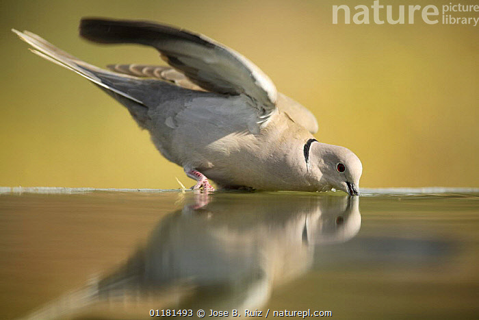 Collared dove {Streptopelia decaocto} drinking from bird bath, Moralet, Alicante, Spain  ,  BIRDS,COLUMBIFORMES,DOVES,DRINKING,PROFILE,VERTEBRATES,Europe,Catalogue1  ,  Jose B. Ruiz