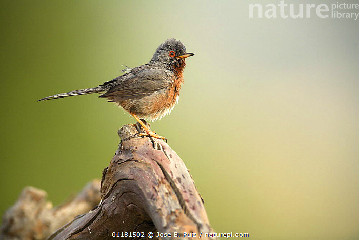 Male Dartford warbler {Sylvia undata} Moralet, Alicante, Spain  ,  BIRDS,EUROPE,PROFILE,SPAIN,VERTEBRATES,WARBLERS  ,  Jose B. Ruiz