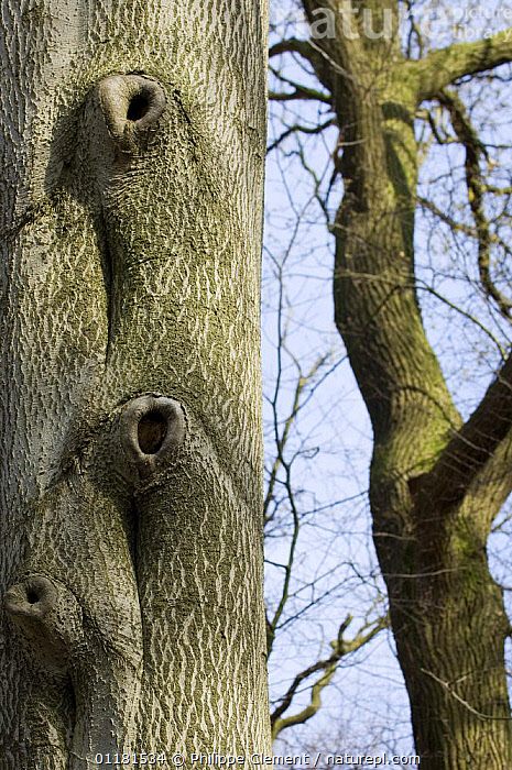 European beech (Fagus sylvatica) tree, natural holes in trunk. Belgium  ,  BARK,BELGIUM,DICOTYLEDONS,EUROPE,FAGACEAE,GROWTH,HOLES,PLANTS,TREES,TRUNKS,VERTICAL,Concepts  ,  Philippe Clement