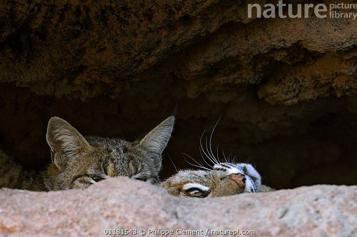 Two American Bobcats (Lynx rufus / Felis rufus) peering over rock in cave. Arizona, USA. Captive.  ,  CARNIVORES, MAMMALS, sonoran-desert, two, USA, VERTEBRATES, CATS, CAVES, NORTH-AMERICA, Secretive,North America  ,  Philippe Clement