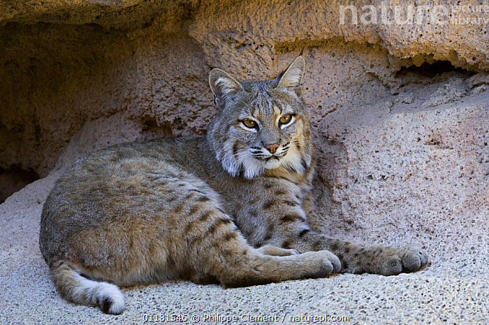 American Bobcat (Lynx rufus / Felis rufus) resting in cave. Arizona, USA. Captive.  ,  MAMMALS, resting, sonoran-desert, USA, VERTEBRATES, CARNIVORES, CATS, CAVES, NORTH-AMERICA,North America  ,  Philippe Clement