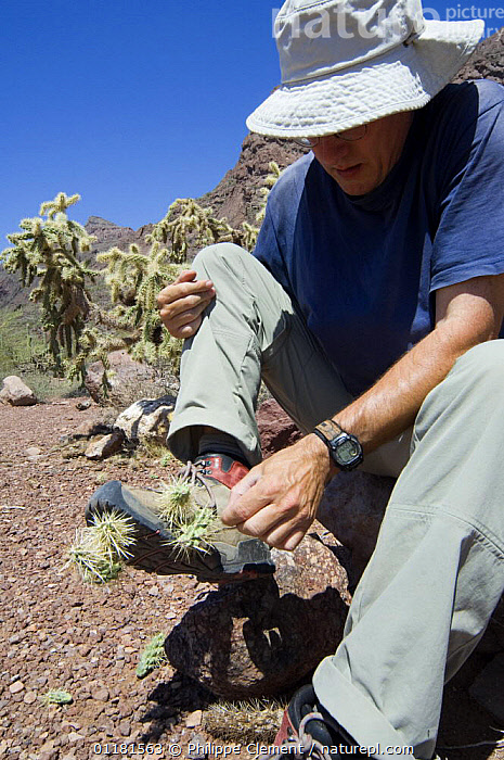 Chain fruit / Jumping cholla (Opuntia / Cylindropuntia fulgida) fruit being removed from shoe of hiker. Organ Pipe Cactus National Monument, Arizona, USA  ,  CACTACEAE, CACTI, CACTUS, DICOTYLEDONS, DISPERSAL, FRUIT, NORTH-AMERICA, PEOPLE, PLANTS, sonoran-desert, SPINES, sticking, THORNS, USA, VERTICAL,North America,,Dispersal,  ,  Philippe Clement