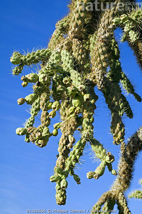 Chain fruit / Jumping cholla (Opuntia / Cylindropuntia fulgida) fruit. Organ Pipe Cactus National Monument, Arizona, USA  ,  CACTACEAE, CACTI, CACTUS, DICOTYLEDONS, FRUIT, NORTH-AMERICA, PLANTS, sonoran-desert, SPINES, THORNS, USA, VERTICAL,North America  ,  Philippe Clement