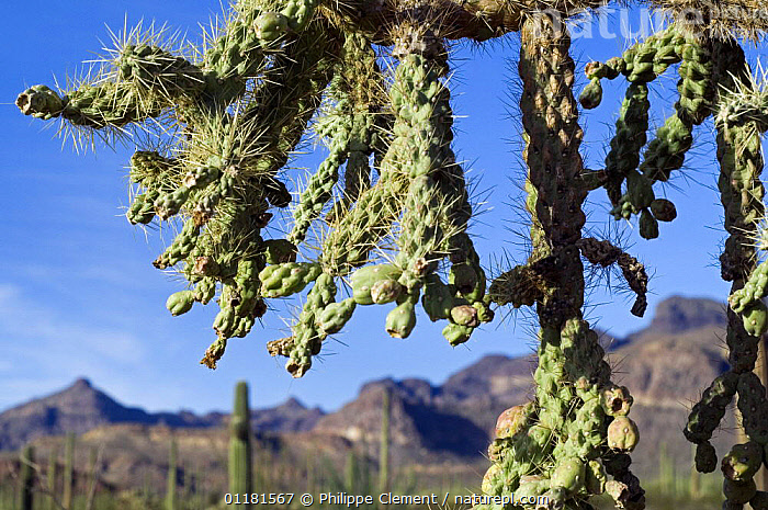 Chain fruit / Jumping cholla (Opuntia / Cylindropuntia fulgida) fruit. Organ Pipe Cactus National Monument, Arizona, USA, CACTACEAE, CACTI, CACTUS, DICOTYLEDONS, FRUIT, NORTH-AMERICA, PLANTS, sonoran-desert, SPINES, THORNS, USA,North America, Philippe Clement