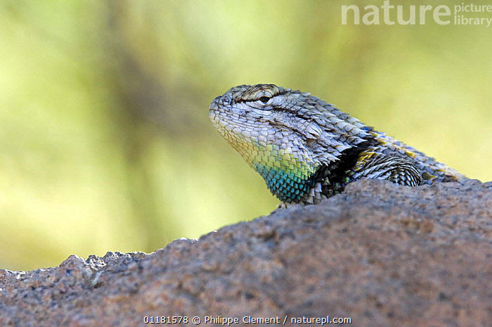 Desert spiny lizard (Sceloporus magister) male showing throat in mating season colours. Saguaro National Park, Arizona, USA  ,  DISPLAY,LIZARDS,MALES,NORTH AMERICA,REPRODUCTION,REPTILES,SONORAN DESERT,SPINY LIZARDS,USA,VERTEBRATES,Communication  ,  Philippe Clement