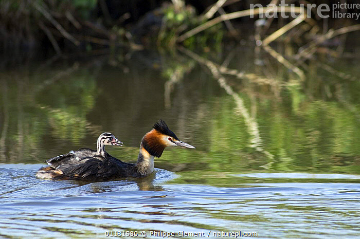 Great crested grebe (Podiceps cristatus) adult swimming with chick on back. Belgium., ADULTS,BABIES,BEHAVIOUR,BELGIUM,BIRDS,CHICKS,EUROPE,FAMILIES,FRESHWATER,GREBES,VERTEBRATES,WATERFOWL, Philippe Clement