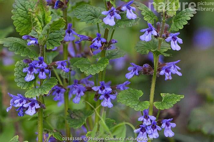 Ground ivy (Glechoma hederacea) flowers, La Brenne, France  ,  BLUE,DICOTYLEDONS,EUROPE,FLOWERS,FRANCE,LAMIACEAE,PLANTS,SPRING  ,  Philippe Clement