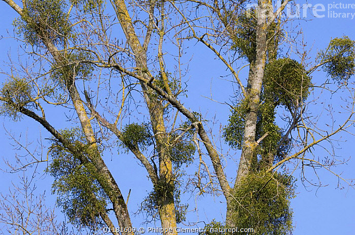 Mistletoe (Viscum album) in Poplar tree (Populus sp) La Brenne, France  ,  DICOTYLEDONS,EUROPE,FRANCE,PARASITE,PARASITIC,PLANTS,TREES,VISCACEAE,WINTER  ,  Philippe Clement