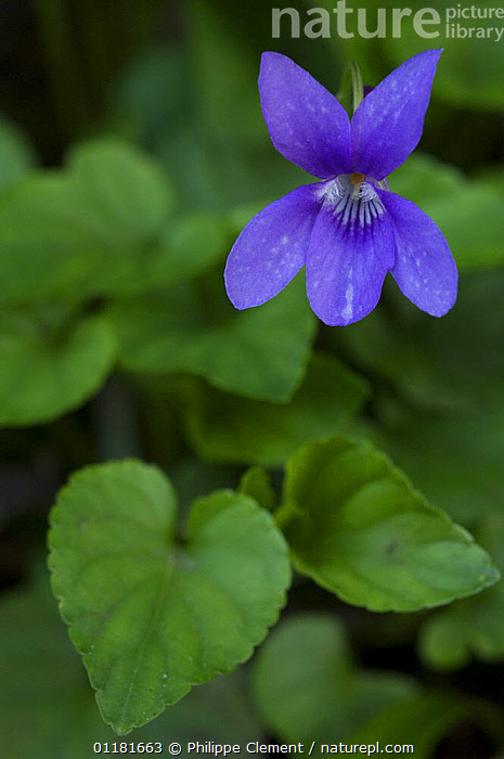 Sweet violet flower (Viola odorata) portrait. France.  ,  DICOTYLEDONS,EUROPE,FLOWERS,FRANCE,PLANTS,PURPLE,SPRING,VERTICAL,VIOLACEAE  ,  Philippe Clement