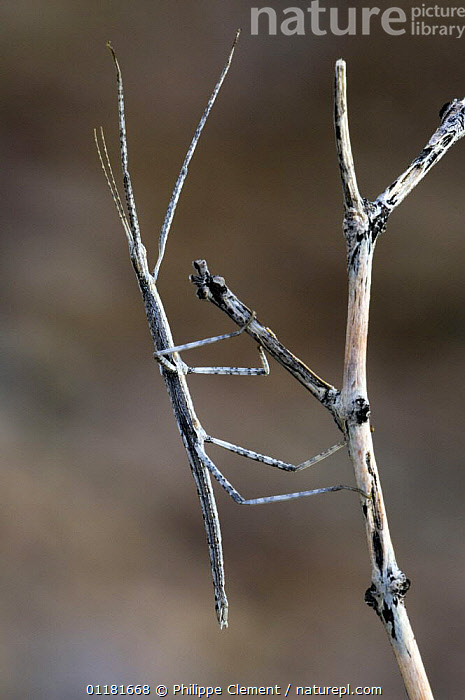 Stick Insect / Walkingstick (Phasmid sp.) on branch. Organ Pipe Cactus National Monument, Arizona, USA  ,  ARTHROPODS,CAMOUFLAGE,CRYPTIC,INSECTS,INVERTEBRATES,MIMICRY,NORTH AMERICA,PHASMIDA,PHASMIDS,SONORAN DESERT,USA,VERTICAL  ,  Philippe Clement
