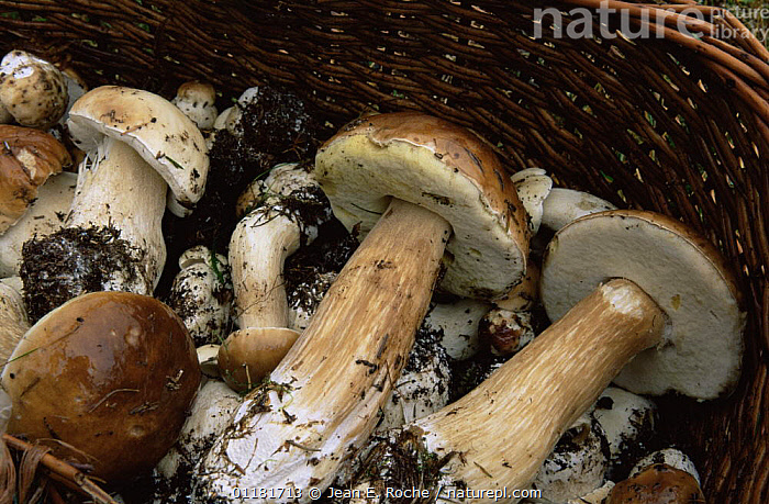 Cep fungus harvested for eating {Boletus edulis} France  ,  BOLETACEAE, BOLETE, EDIBLE, EUROPE, food, FRANCE, FUNGI, GROUPS, HARVESTING, WOODLANDS  ,  Jean E. Roche