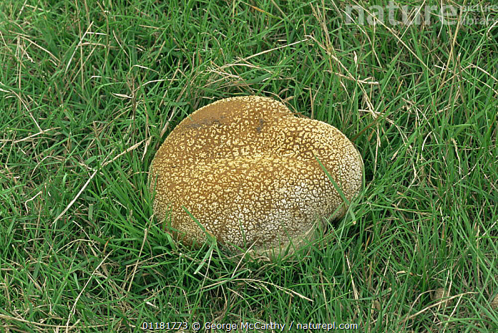 Mosaic puffball fungus {Calvatia utriformis} in grassland, UK  ,  EUROPE, FUNGI, LYCOPERDACEAE, puffballs, UK,United Kingdom  ,  George McCarthy