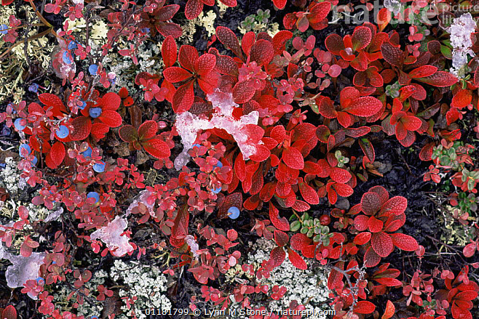 Bearberry {Arctostaphylos sp} and Blueberry {Vaccinium sp} plants with red leaves and berries amongst ice, Denali NP, Alaska, USA, BEARBERRY,BERRIES,COLOURFUL,DICOTYLEDONS,ERICACEAE,FRUIT,MIXED SPECIES,NORTH AMERICA,PLANTS,RED,USA,VERTICAL,WINTER, Lynn M Stone