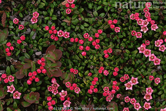 Trailing / alpine azalea {Kalmia procumbens} flowering, Nome, Alaska, USA, DICOTYLEDONS, ERICACEAE, FLOWERS, north america, PINK, PLANTS, USA, Tom Vezo