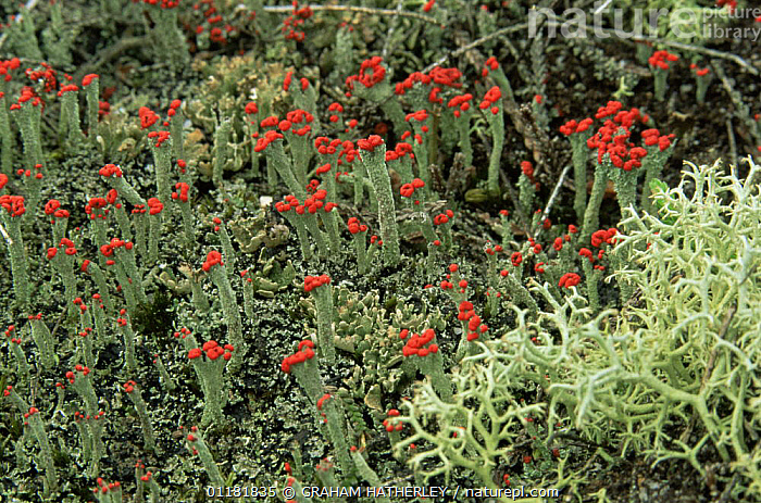 Lichens {Cladonia floerkeana} and {Cladonia portentosa} with fruiting bodies, Dorset, UK  ,  COLOURFUL,EUROPE,LICHEN,LICHENS,MIXED SPECIES,RED,REPRODUCTION,SPORES,UK,United Kingdom,Plants,British  ,  GRAHAM HATHERLEY