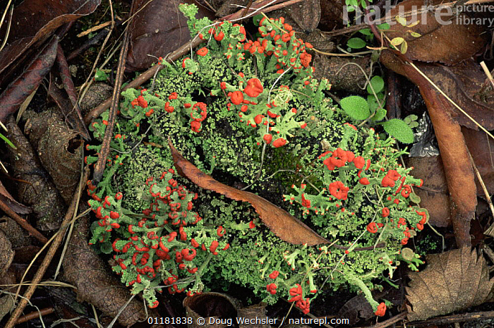 British Soldiers Lichen {Cladonia crisyatella} with fruiting bodies, New Jersey, USA  ,  COLOURFUL, LICHENS, north america, PLANTS, RED, REPRODUCTION, spores, USA  ,  Doug Wechsler