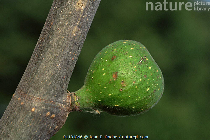 Cultivated fig tree {Ficus carica} with developing fig, France  ,  CROPS,DICOTYLEDONS,EDIBLE,EUROPE,FRANCE,FRUIT,MORACEAE,PLANTS  ,  Jean E. Roche