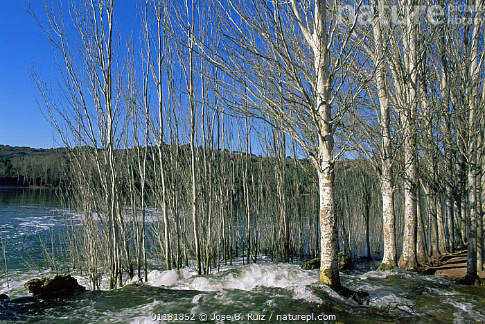 White poplar trees {Populus alba} growing beside a river, winter, Ruidera NP, Spain  ,  DICOTYLEDONS,EUROPE,LANDSCAPES,PLANTS,SALICACEAE,SPAIN,TRUNKS  ,  Jose B. Ruiz