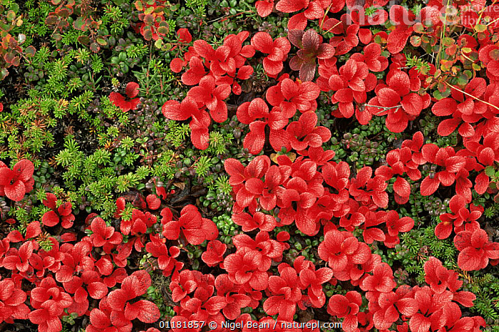 Bearberry {Arctostaphylos uva ursi} red leaves in autumn, Alaska, USA  ,  BEARBERRY,COLOURFUL,DICOTYLEDONS,ERICACEAE,NORTH AMERICA,PLANTS,RED,TUNDRA,USA  ,  Nigel Bean