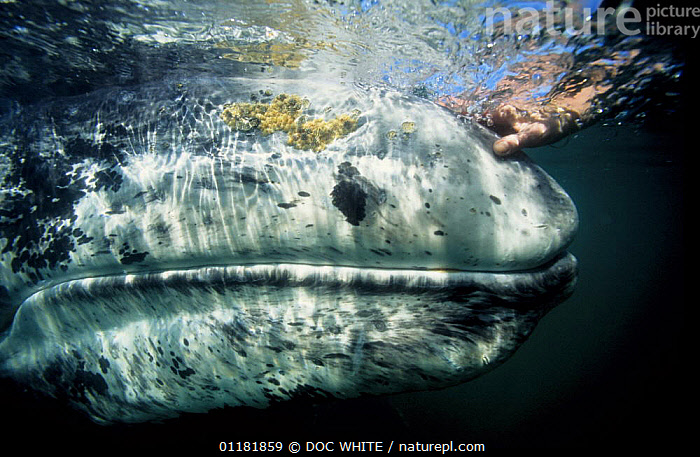 Human hand stroking the head of a Grey whale (Eschrichtius robustus) San Ignacio lagoon, Pacific, Mexico  ,  CETACEANS,CLOSE UPS,DIVING,HANDS,INTERACTION,MAMMALS,MARINE,MEXICO,MOUTHS,PACIFIC,PEOPLE,TROPICAL,UNDERWATER,VERTEBRATES,WHALES,CENTRAL-AMERICA  ,  DOC WHITE
