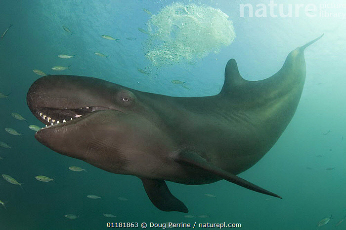 False killer whale ( Pseudorca crassidens ) with mouth open, showing large conical teeth, captive, aquarium, from Indo-pacific, digitally manipulated  ,  CETACEANS,DOLPHINS,MAMMALS,MARINE,MOUTHS,TEETH,TROPICAL,UNDERWATER,VERTEBRATES,Catalogue1  ,  Doug Perrine