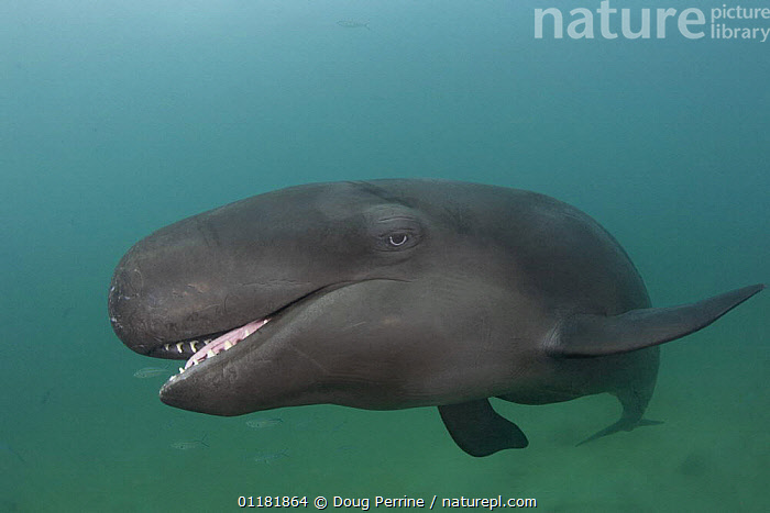 False killer whale ( Pseudorca crassidens ) with mouth open, showing large conical teeth, captive, aquarium, from Indo-pacific, digitally manipulated  ,  CETACEANS,DOLPHINS,MAMMALS,MARINE,MOUTHS,PORTRAITS,TEETH,TROPICAL,UNDERWATER,VERTEBRATES  ,  Doug Perrine