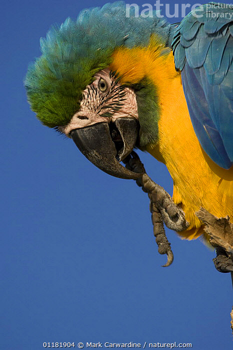 Blue-and-yellow macaw (Ara ararauna) with claw in mouth, Rio Negro, Amazon Basin, Brazil, Wild, BIRDS,BRAZIL,CLAWS,MACAWS,PARROTS,SOUTH AMERICA,TROPICAL RAINFOREST,VERTEBRATES,VERTICAL, Mark Carwardine