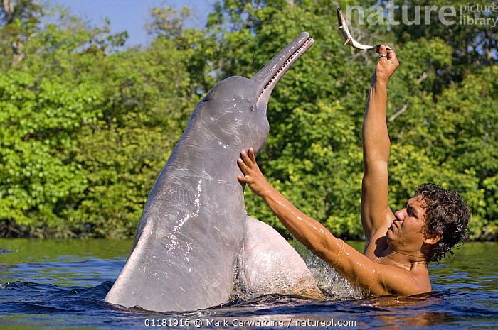 Amazon / pink river dolphin / boto (Inia geoffrensis) Rio Negro, Brazil (Amazon) wild animal being fed fish by local villager, Threatened species (IUCN Red List)  ,  AMAZON,BEHAVIOUR,BOUTO,BRAZIL,CETACEANS,DOLPHINS,ENDANGERED,FRESHWATER,INTERACTION,MAMMALS,PEOPLE,RIVERS,SOUTH AMERICA,TROPICAL,TROPICAL RAINFOREST,VERTEBRATES, Mammals  ,  Mark Carwardine