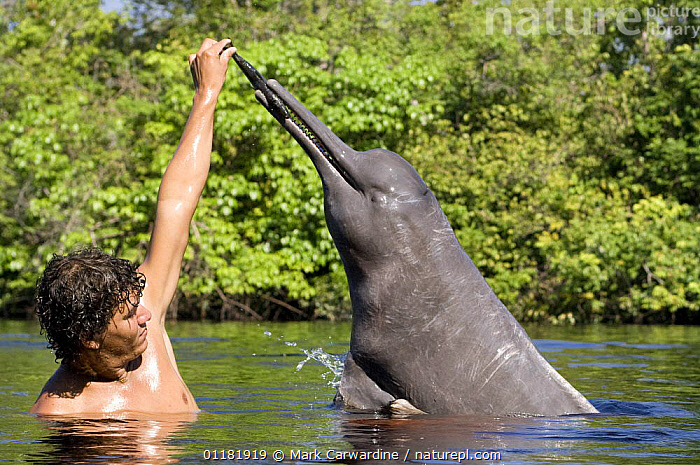 Amazon / pink river dolphin / boto (Inia geoffrensis) Rio Negro, Brazil (Amazon) wild animal being fed by local villager, Threatened species (IUCN Red List), AMAZON,BEHAVIOUR,BOUTO,BRAZIL,CETACEANS,DOLPHINS,ENDANGERED,FEEDING,FRESHWATER,INTERACTION,MAMMALS,PEOPLE,RIVERS,SOUTH AMERICA,TROPICAL,TROPICAL RAINFOREST,VERTEBRATES, Mammals, Mark Carwardine